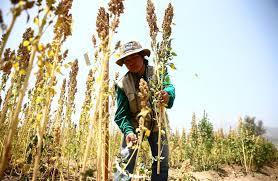 recoletando la quinoa
