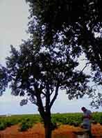 Campos de vino